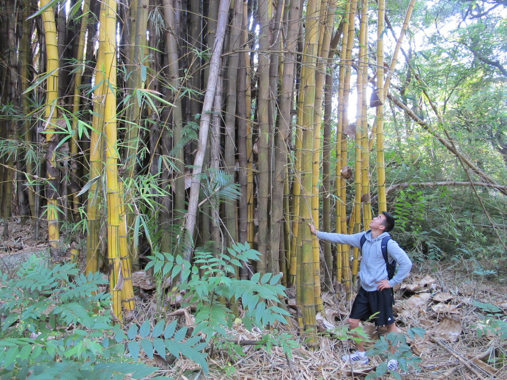 assets/images/uploaded/Giant Bamboo growing in Zomba.jpg